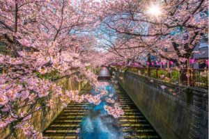 best time to visit tokyo cherry blossom season